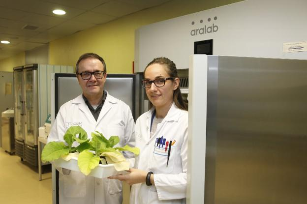 Alfredo Martínez y María Díaz de Cerio, investigadores de Biomass Booster, muestran una planta de tabaco transgénica. /  JUSTO RODRÍGUEZ